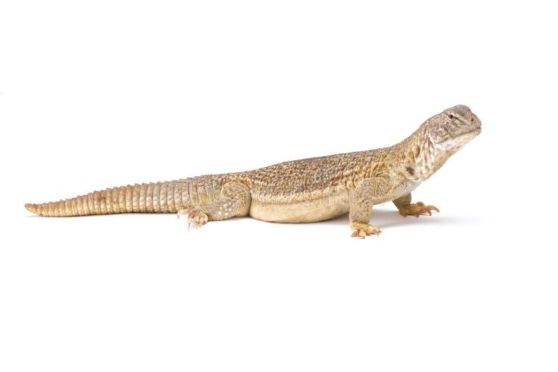 印地安人多刺被盯梢的蜥蜴(Saara hardwickii) 库存照片
