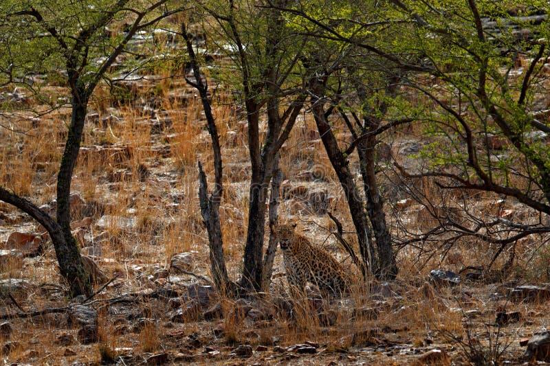 印地安人孟加拉豹子,豹属pardus fusca,大被察觉的猫在树的在自然栖所, Ranthambore国家公园, 图库摄影