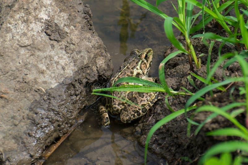 印地安人牛蛙 库存图片