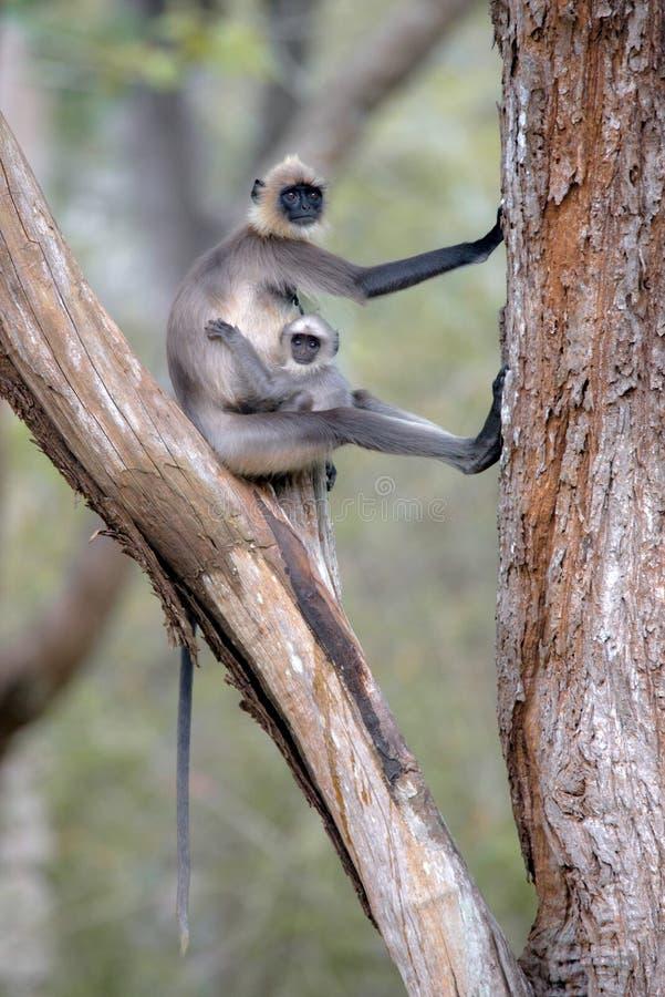 印地安叶猴猴子在自然栖所 免版税库存图片