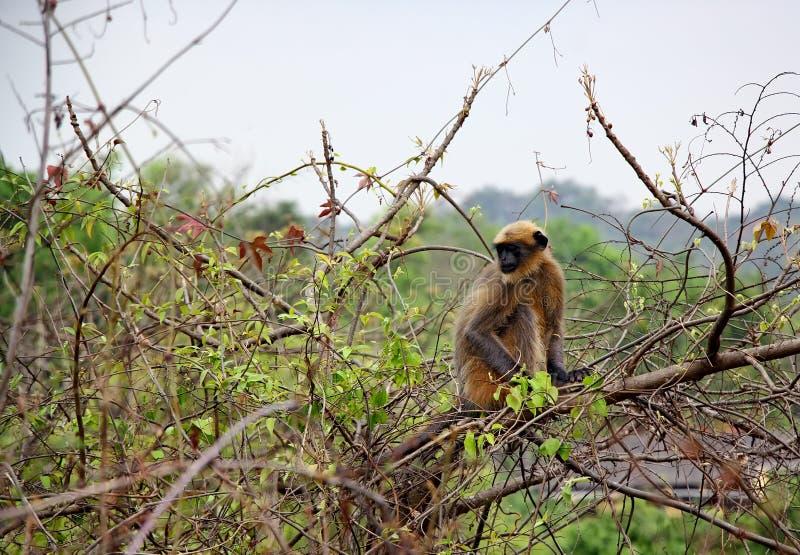 印地安叶猴猴子 免版税库存图片
