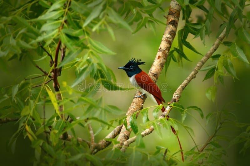 印地安天堂捕蝇器, Terpsiphone帕拉迪西,在自然栖所, Yala国家公园,斯里兰卡 与长的t的美丽的鸟 库存图片