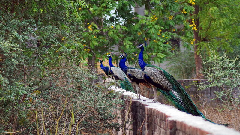 印地安孔雀或印地安孔雀 免版税图库摄影