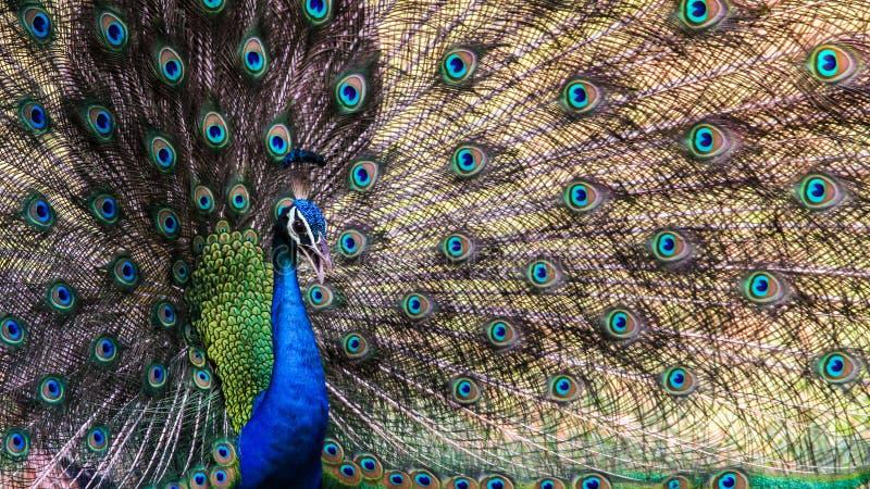 印地安孔雀的舞蹈 库存照片