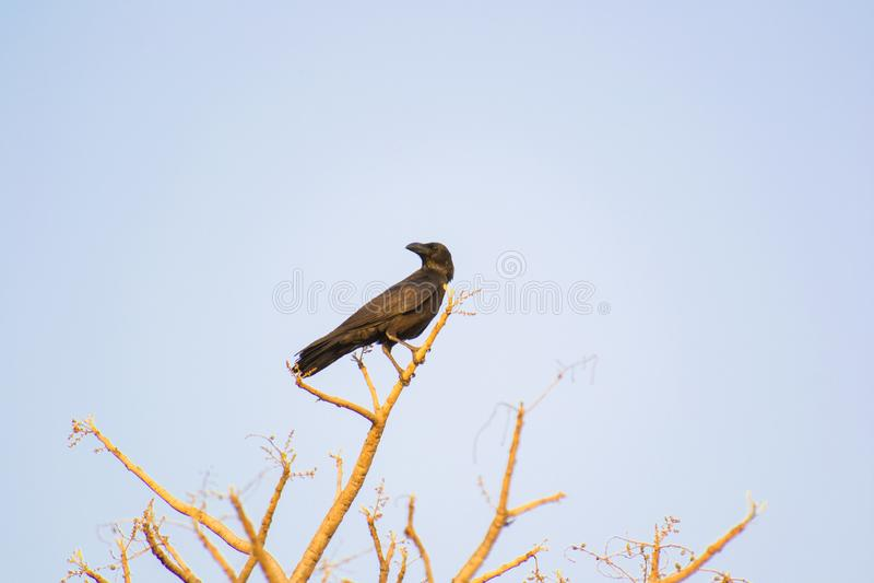 印地安密林乌鸦 免版税图库摄影