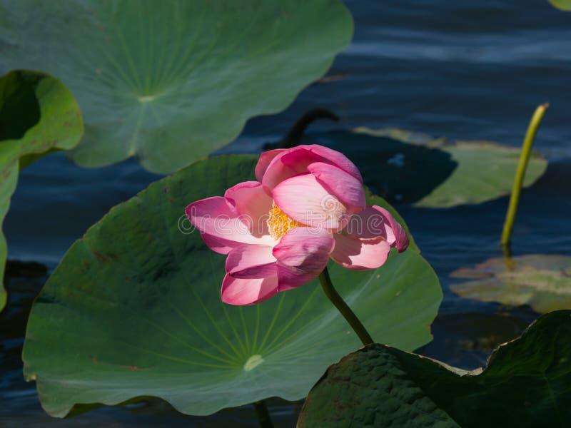 印地安或莲,莲属nucifera,特写镜头桃红色花在狂放,选择聚焦,浅DOF 免版税库存照片