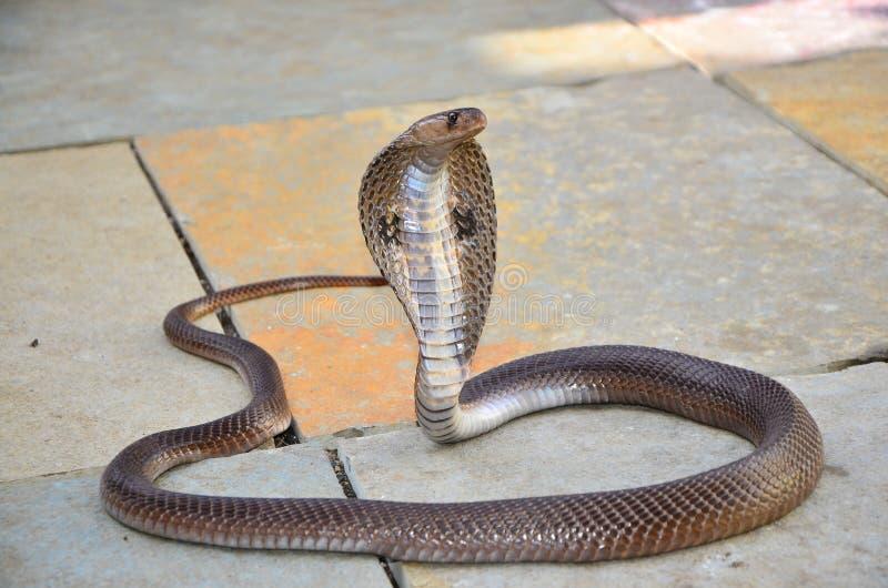 印地安戴了眼镜眼镜蛇 印第安眼镜蛇 免版税图库摄影