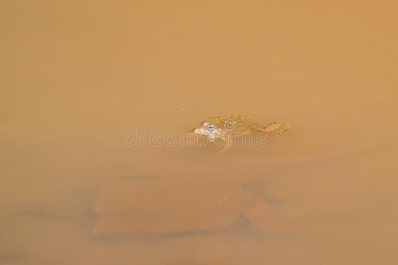 印地安掠过的青蛙 免版税库存图片