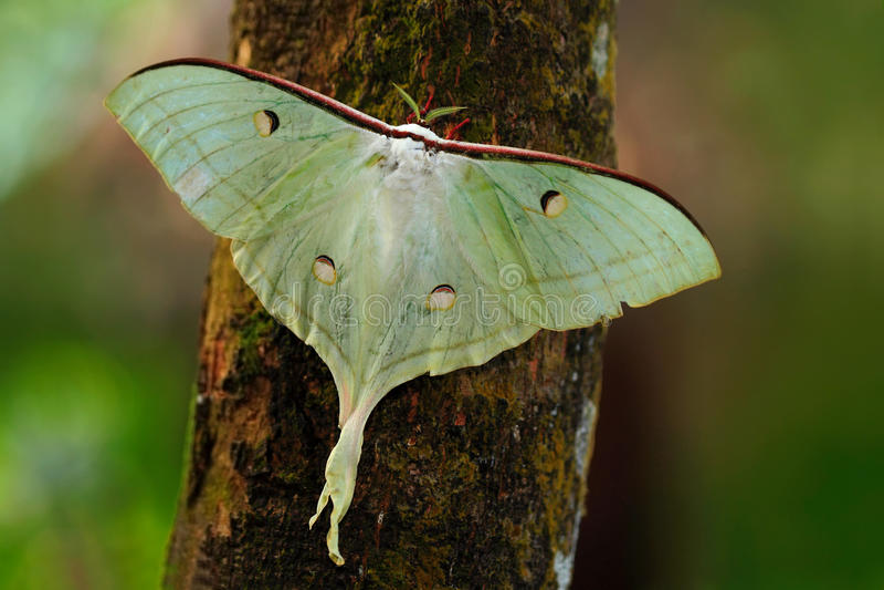 印地安月亮飞蛾或印地安人月神飞蛾, Actias月之女神,白色蝴蝶,在自然栖所,坐树干,斯里兰卡 库存图片