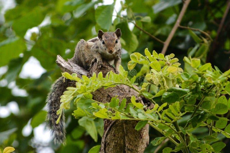 印地安棕榈灰鼠的摄影心情 库存图片
