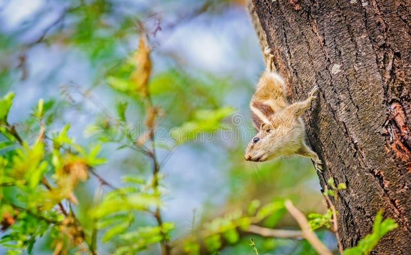 印地安棕榈灰鼠, Funambulus palmarum,在树干 免版税库存图片