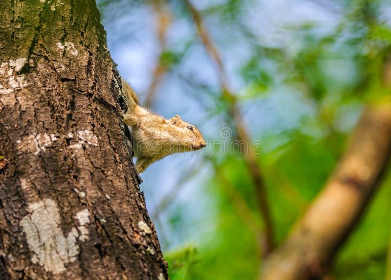 印地安棕榈灰鼠, Funambulus palmarum,在树干 库存图片