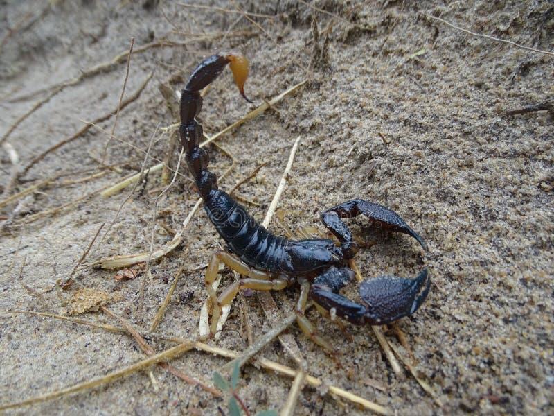 印地安森林蝎子 免版税图库摄影