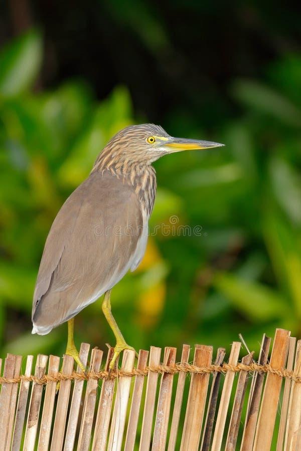 印地安池塘苍鹭, Ardeola grayii grayii,坐竹篱芭在自然沼泽栖所,绿色森林在背景nat的Yala 免版税库存图片