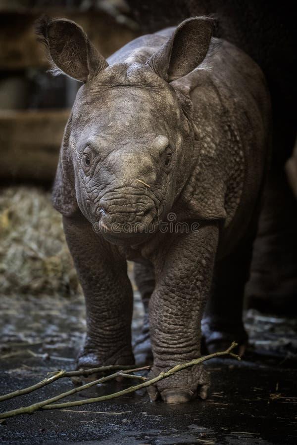 印地安犀牛小牛年纪少量的天在囚禁 免版税库存照片