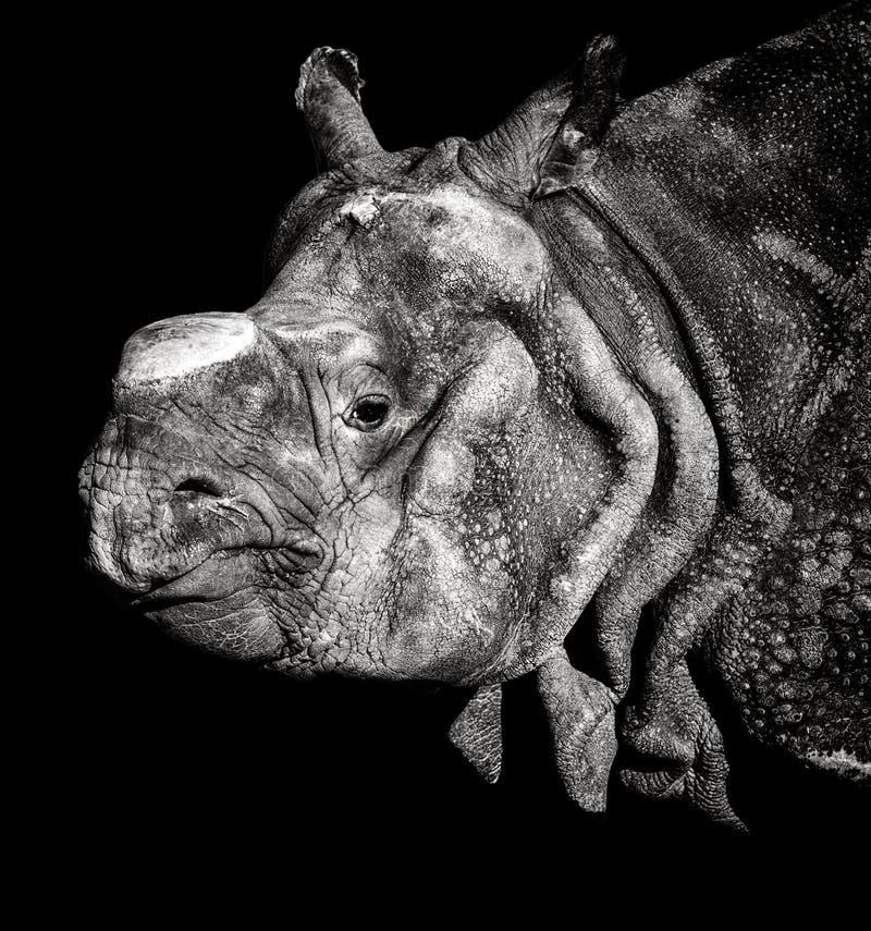 印地安犀牛画象 免版税库存图片