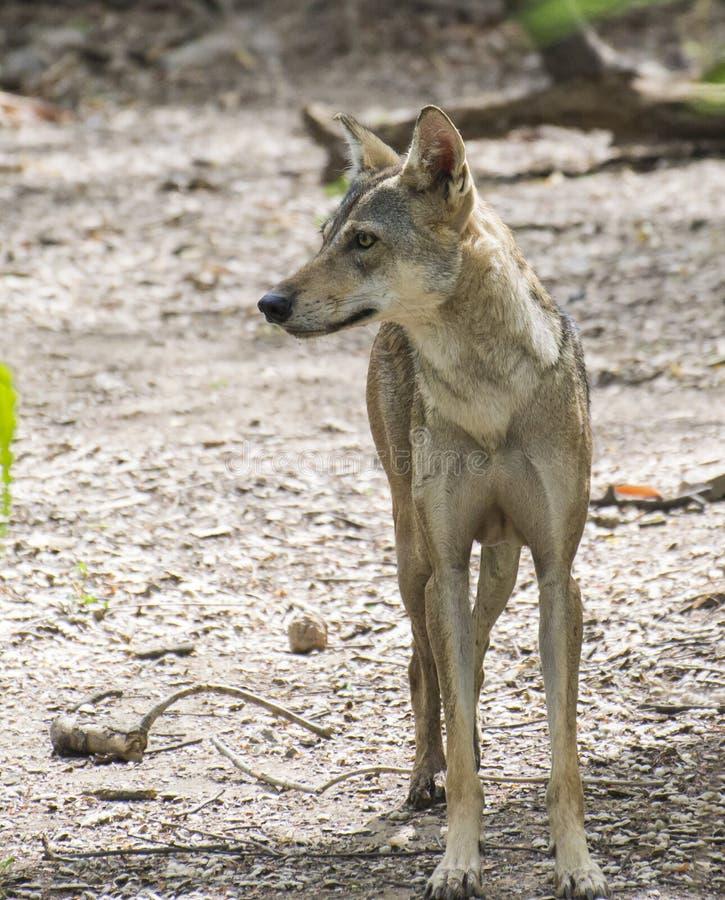 印地安狼 免版税图库摄影