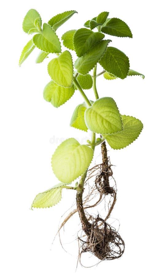 印地安琉璃苣, Plectranthus amboinicus 库存照片
