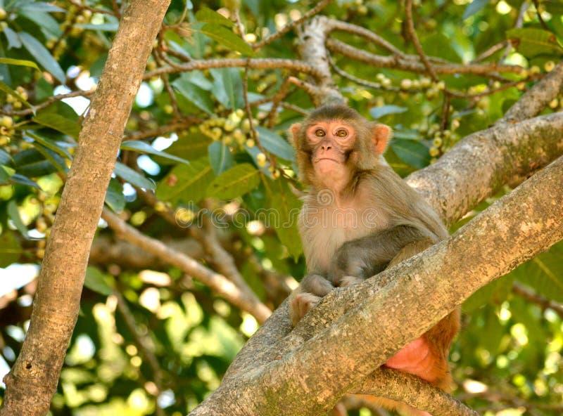 印地安短尾猿 库存照片
