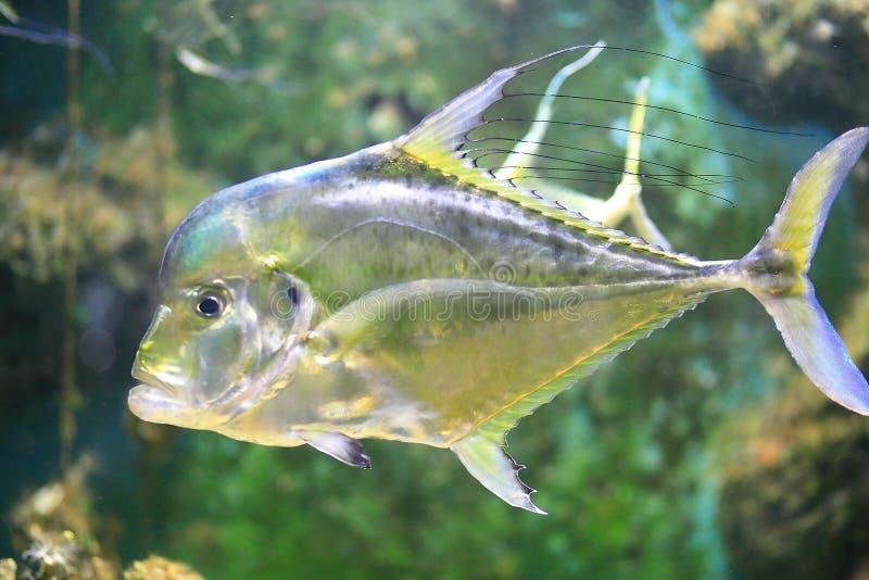 印地安短吻丝鱼 库存图片