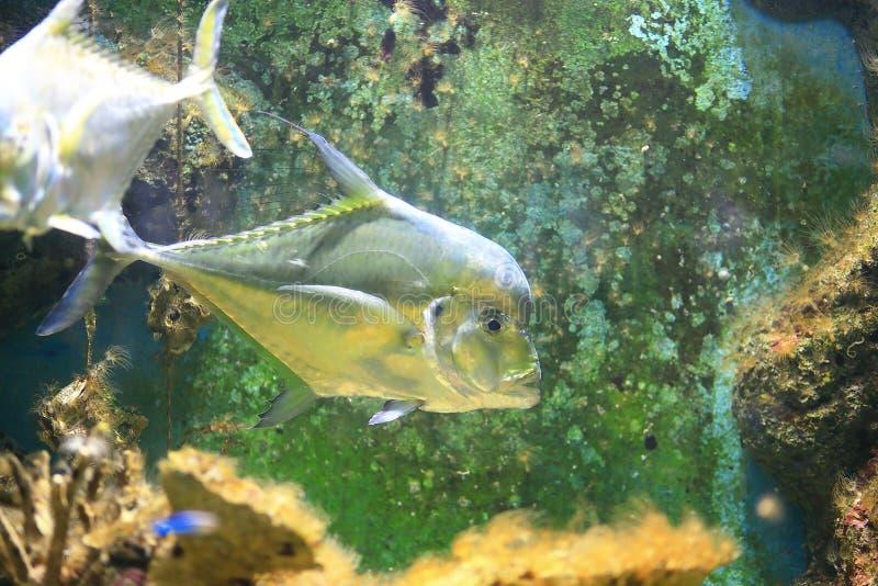 印地安短吻丝鱼 库存照片