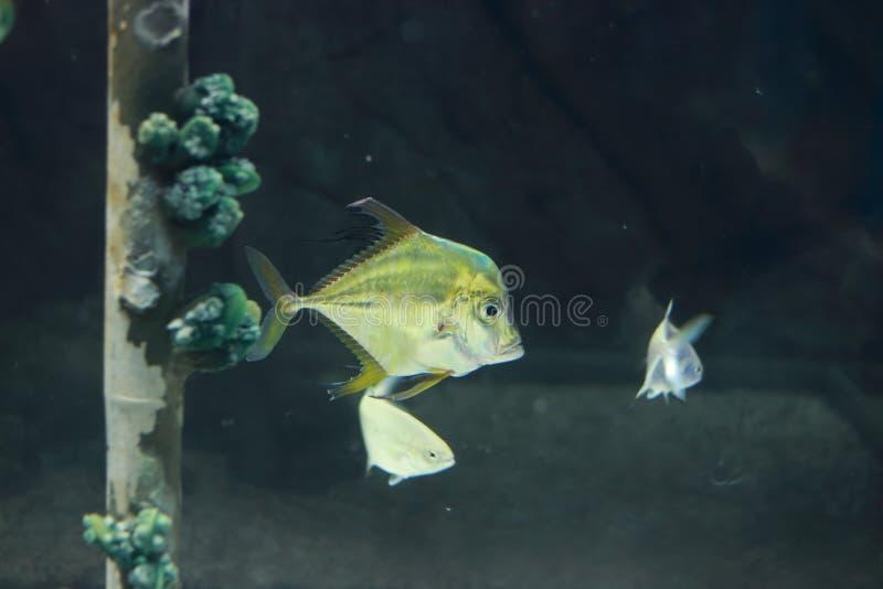 印地安短吻丝鱼 图库摄影