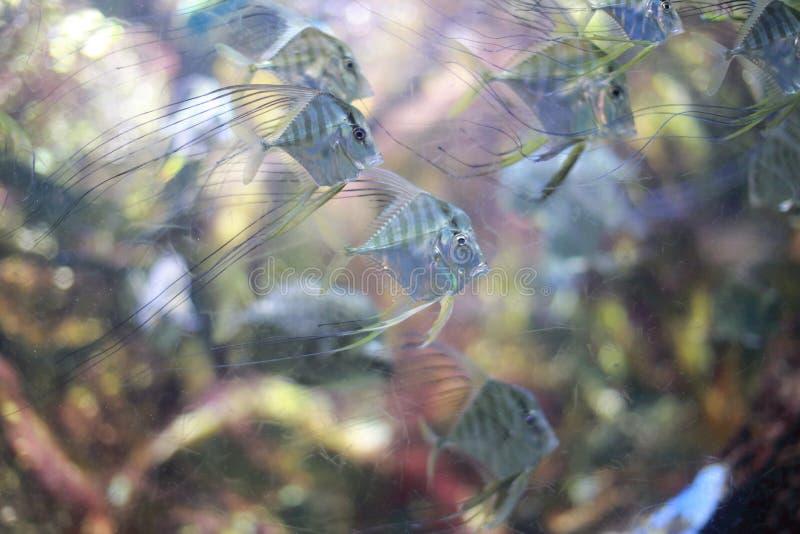 印地安短吻丝鱼 免版税库存照片