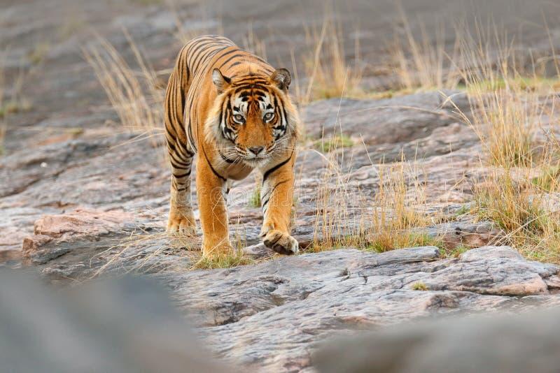 印地安老虎,野生危险动物在自然栖所, Ranthambore,印度 大猫,危险的哺乳动物,精密皮大衣 在石头的老虎 库存图片
