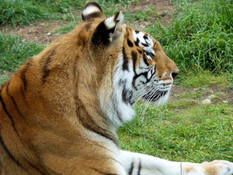印地安老虎(女性) 15岁 免版税图库摄影