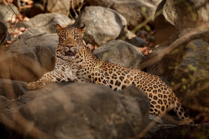 印地安豹子在自然栖所 豹子休息 库存图片