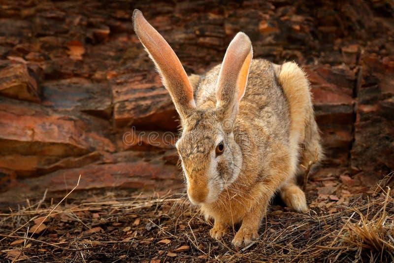 印地安野兔,吃草天兔座的nigricollis, Ranthambore国家公园,拉贾斯坦,印度,亚洲 与大长的耳朵的细节动物 野兔 库存照片