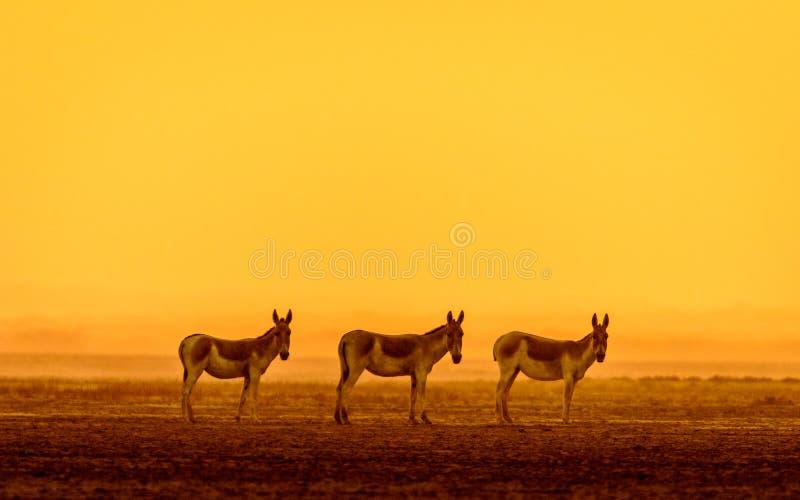 印地安野驴 免版税库存图片