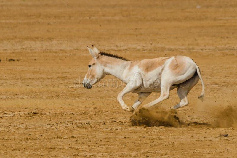 印地安野驴ghudkhur 免版税库存图片