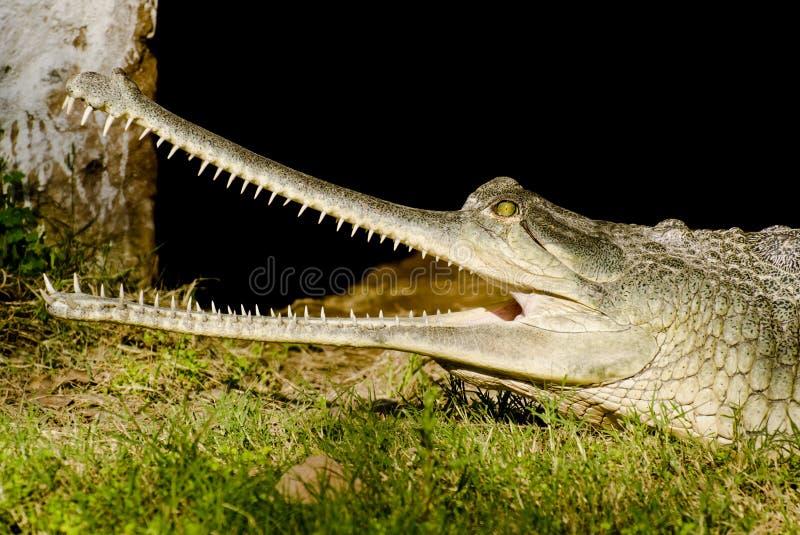 印地安鳄鱼Gharial 免版税库存照片