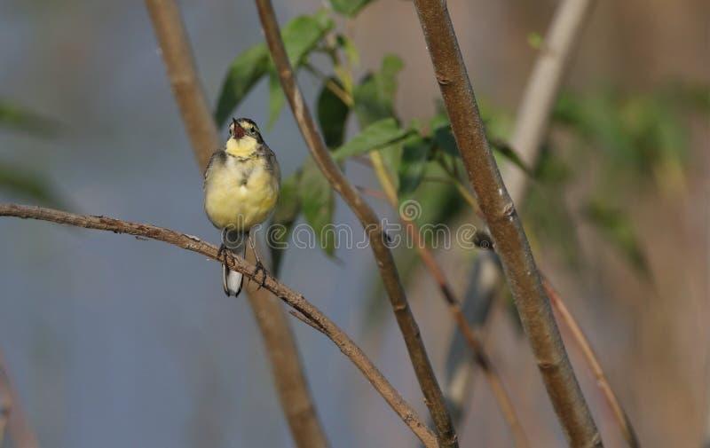 印地安黄色令科之鸟鸟 图库摄影