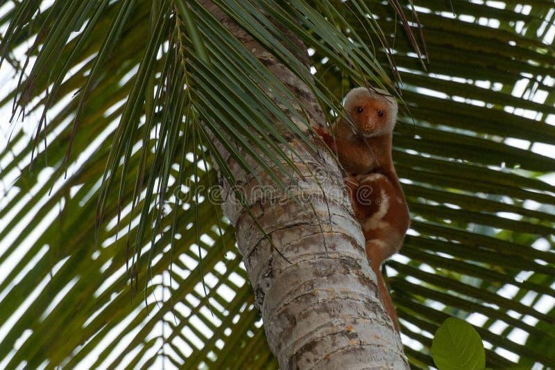 印尼虎头鼠特有猴头像 图库摄影