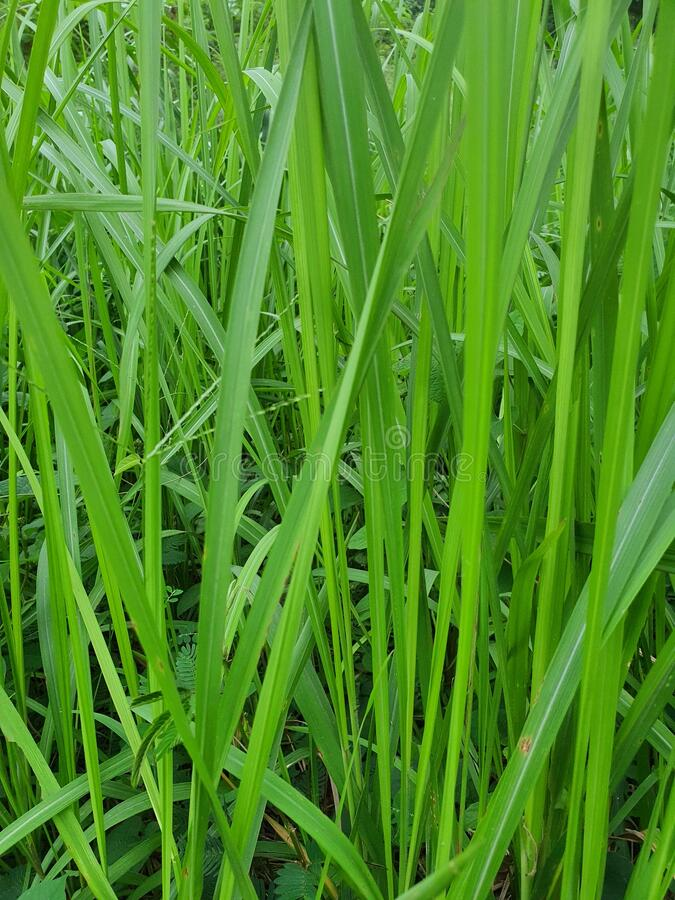 印尼西爪哇丹格朗南城的绿色野生草原 库存图片