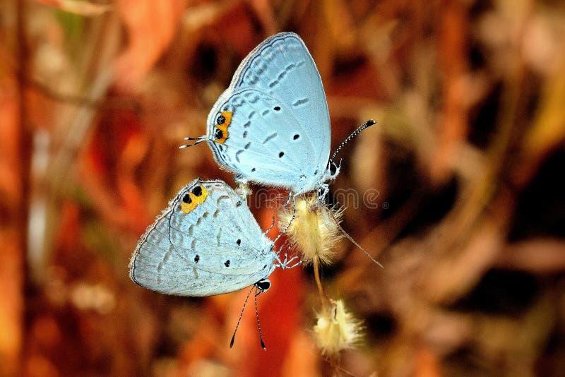 印度丘比特Everes lacturnus蝴蝶席子 库存照片