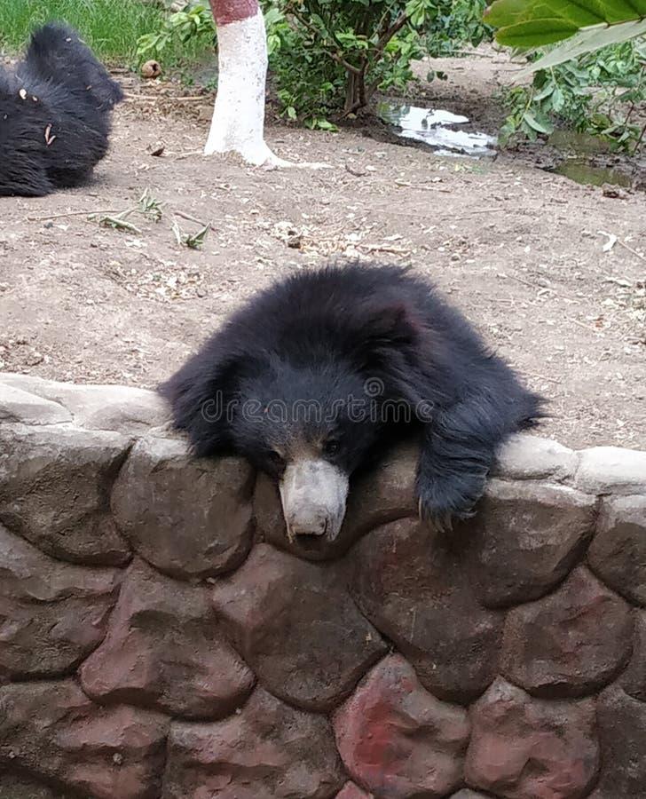 印度中央邦一家动物园的熊 库存照片