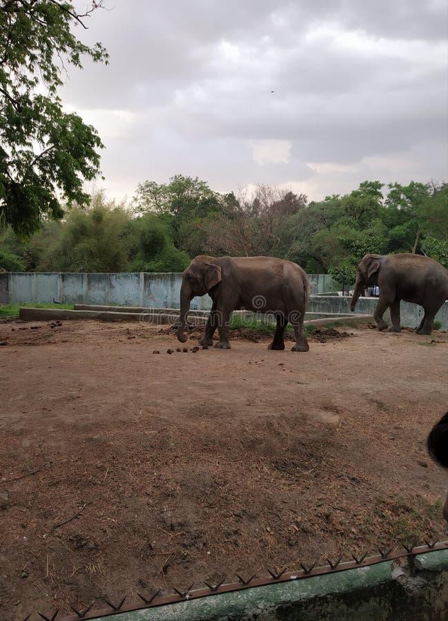 印度动物园中的亚洲象 免版税图库摄影