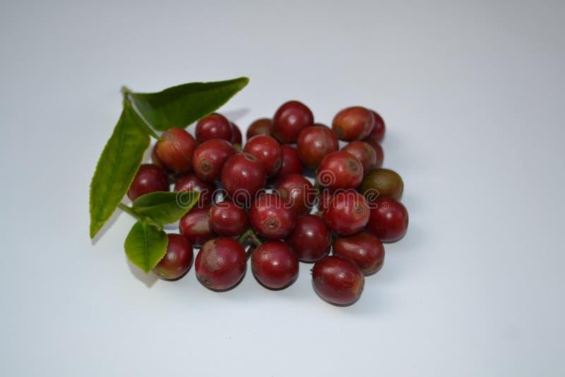 印度塔米尔纳杜新采的咖啡水果和新采的茶叶 免版税图库摄影