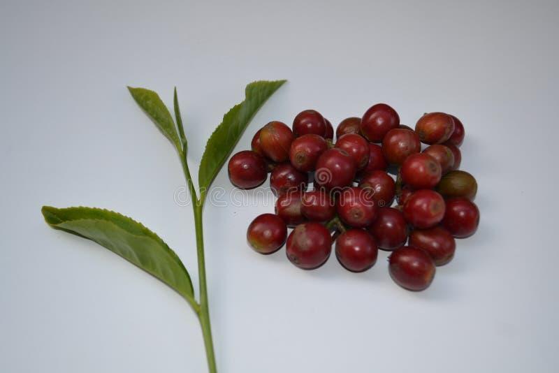 印度塔米尔纳杜新采的咖啡水果和新采的茶叶 库存照片