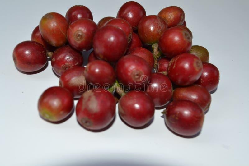 印度塔米纳杜地区新鲜采摘的咖啡水果 免版税库存图片