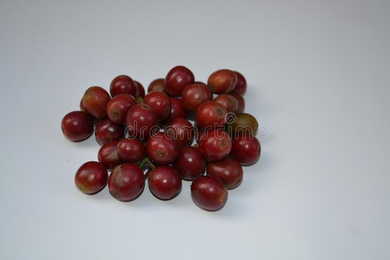 印度塔米纳杜地区新鲜采摘的咖啡水果 免版税库存照片