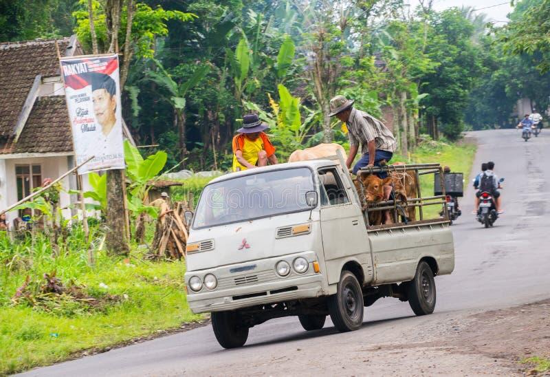 印度尼西亚人民带来他们的与卡车的母牛 库存照片