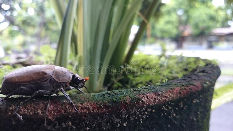 从印度尼西亚的昆虫 免版税库存图片