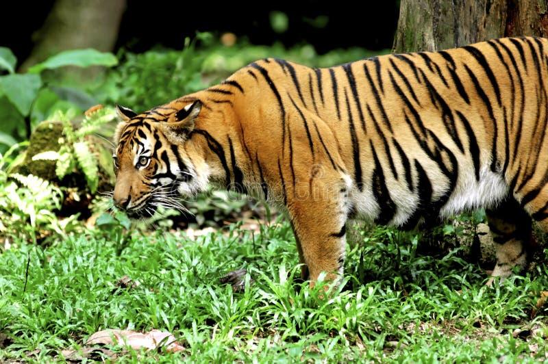 印度尼西亚苏门答腊老虎 图库摄影