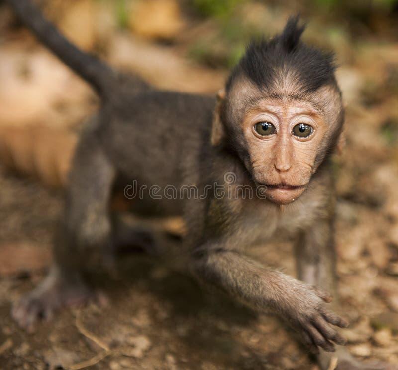 印度尼西亚猴子 免版税库存图片