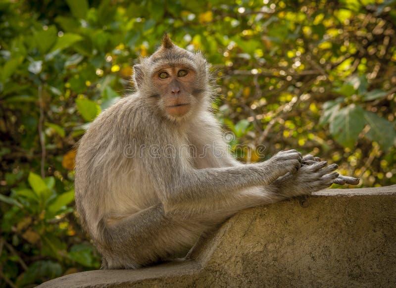 印度尼西亚猴子 库存图片
