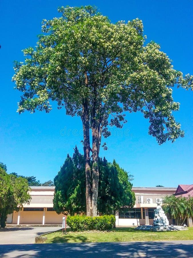 印度恶魔树 库存照片